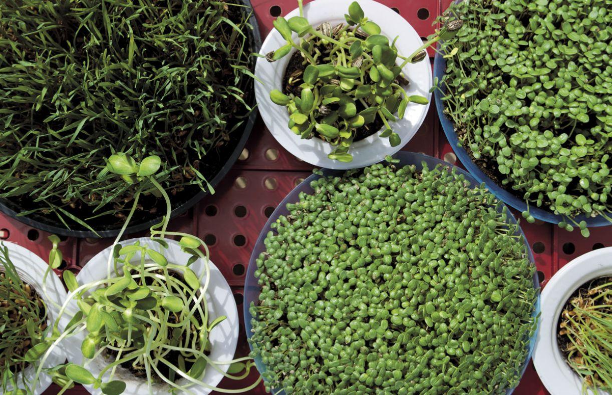 Quem opta pelos brotos e sementes aposta na vitalidade dos alimentos