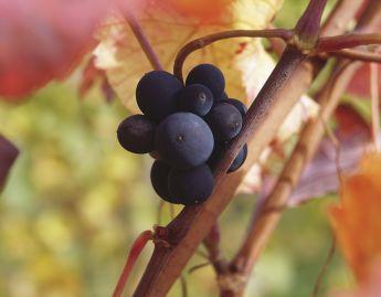 Vinhos jovens
